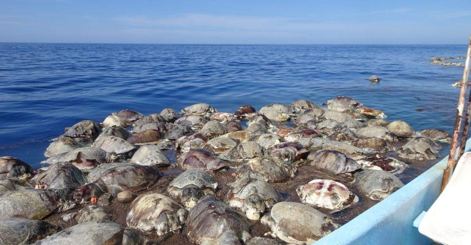 Mueren más de 300 tortugas en costas de Oaxaca al quedar atrapadas en red de pescadores