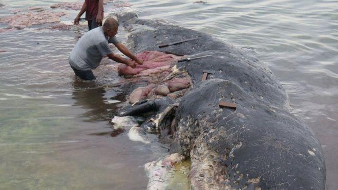 La impresionante imagen de un cachalote encontrado muerto con 115 vasos de plástico en el estómago