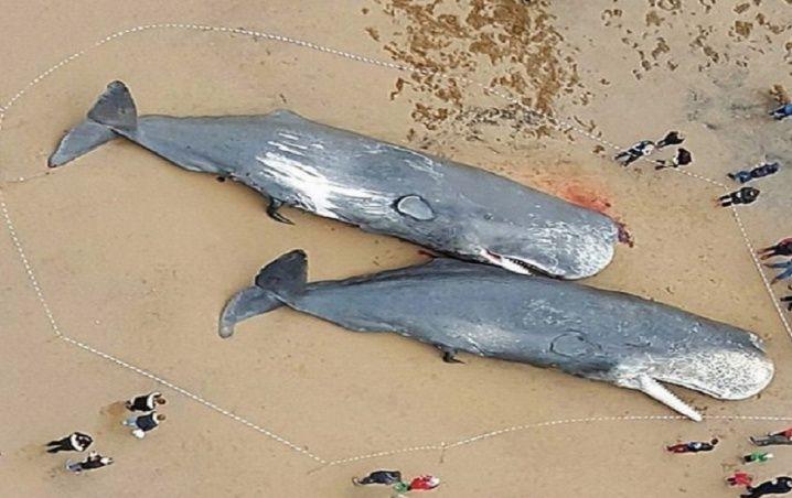 Encuentran ballenas muertas con plástico en sus estómagos