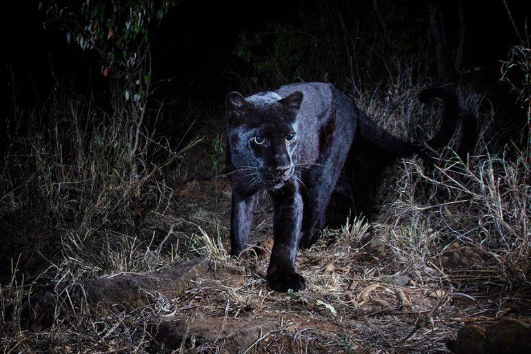 Después De 100 Años Fotografían Un Leopardo Negro Africano